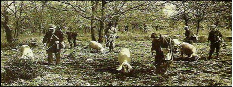 truffle hunting with pigs